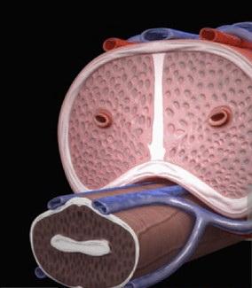 repair penis tissue function